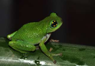An Indian frog to help fight flu? - India TV