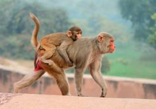 monkey HIV vaccine - India TV