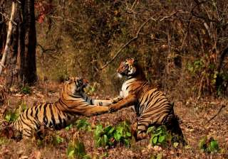 Report says villagers near Pilibhit Tiger Reserve...
