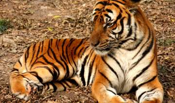 India lost over 100 tigers this year - India TV