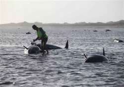 nearly 200 pilot whales stranded on new zealand beach