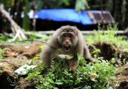 pakistan arrests indian monkey for crossing border