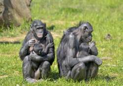 young apes regulate emotions like humans
