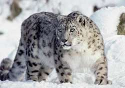 wwf calls for urgent action to protect snow leopards in