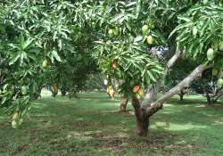 mango production in konkan shows downtrend