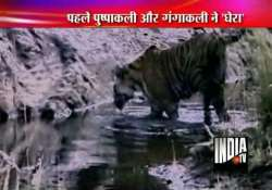 straying tiger trapped near lucknow
