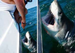 great white shark caught off coast of queens...