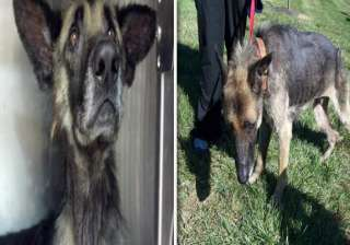 horrible dog chained to a tree for 4 years -...