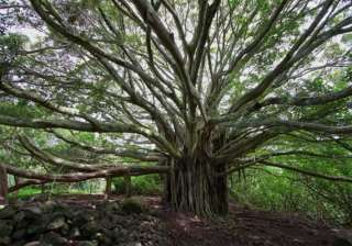 know about 10 trees associated with mythology -...