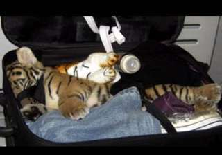 bangkok airport officials find drugged tiger cub...