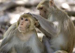 new vaccine for monkeys raises hopes in fight...