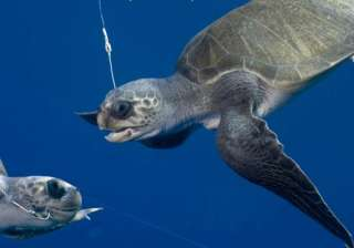 shrimp boats killing sea turtles in guatemala -...