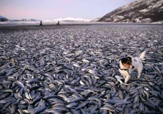 20 tons of herring wash up on norway coast then...