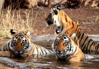 tiger population in india rises to 2226 in 2014...