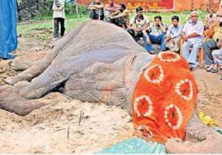 people chant prayers as female elephant lies...
