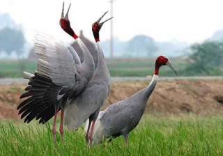 sarus cranes missing in up forest department...
