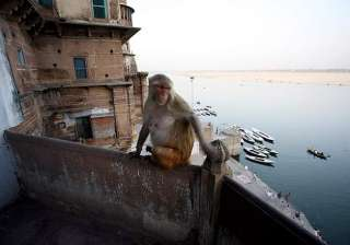 varanasi monkeys biggest hurdle in city s free wi...