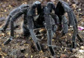 spiders create panic in remote assam villages -...