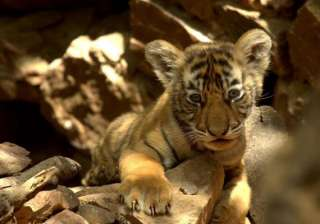 tiger cub spotted in ranthambore - India TV