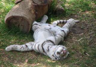 white tiger dies barely fortnight after being...