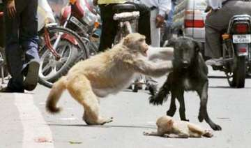 delhi monkey mom saves cub from moped and a dog -...