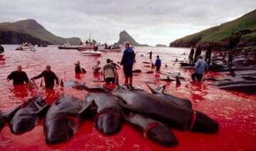 dolphins massacred annually in bloody rites of...
