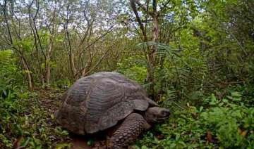207 giant turtles to be released in the galapagos...