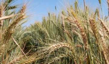 temperature rise affecting global wheat yield -...