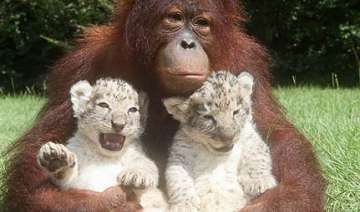 orangutan plays mum to 2 lion cubs in us - India...