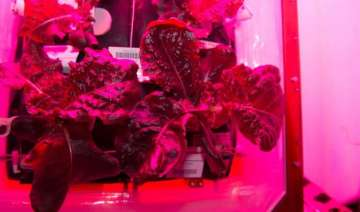 space salad astronauts grow vegetables in space -...