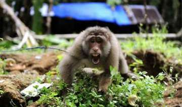 pakistan arrests indian monkey for crossing...