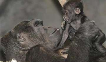 san diego zoo performs rare caesarean section on...