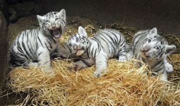 white tiger escapes from enclosure in czech zoo -...