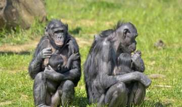 young apes regulate emotions like humans - India...