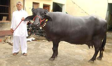 believe it or not this buffalo was sold for rs 25...
