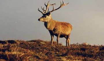 204 brow antlered deer found in manipur - India TV