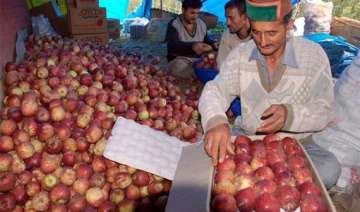 delicious kinnaur apples wiped out before bloom -...