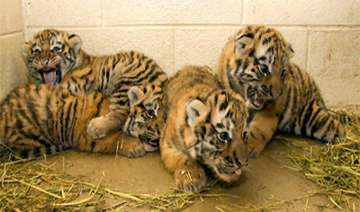four tiger cubs born in patna zoo - India TV