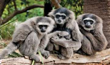 gibbon family translocated to arunachal pradesh -...