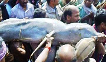 dolphin rescued in odisha released in river -...