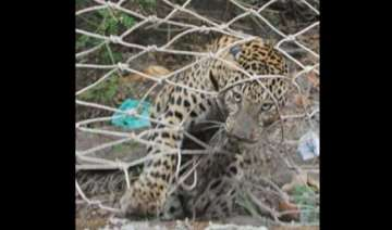 two leopards dead in maharashtra - India TV