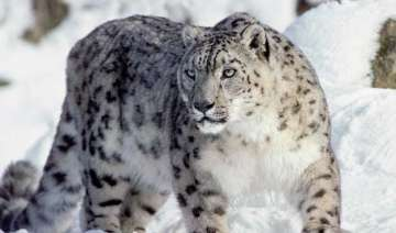 wwf calls for urgent action to protect snow...
