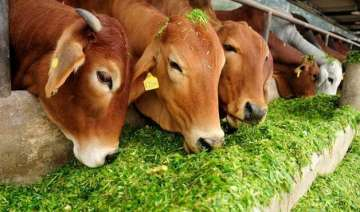 cow slaughter in india what the law says in...