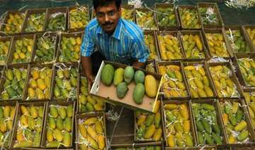 mango production in up may halve to 43 lakh...