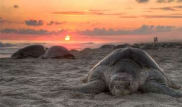 sporadic nesting activity of olive ridley turtles...