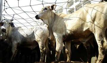 alleged cow smuggler lynched in himachal pradesh...