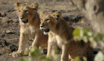 number of asiatic lions in gir goes up to 523...