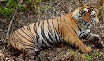 tiger population in north east up - India TV