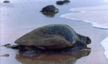 turtle nesting sites mangroves at high risk due...