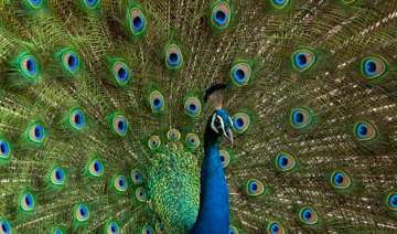 india s national bird peacock could be termed...